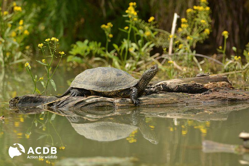 Țestoasă de apă europeană