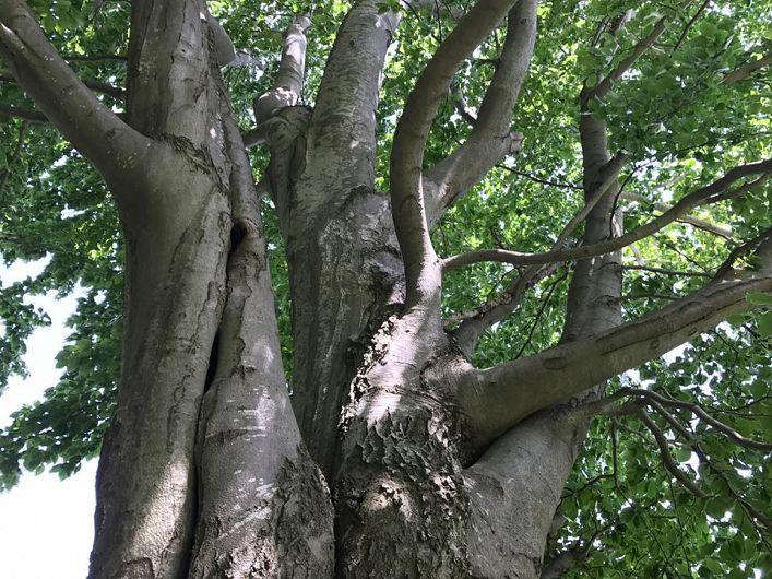 Copac vânjos