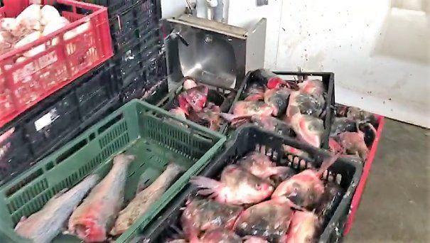 Foto 1 Tone de pește contaminat au fost cumpărate de români, din piețe
