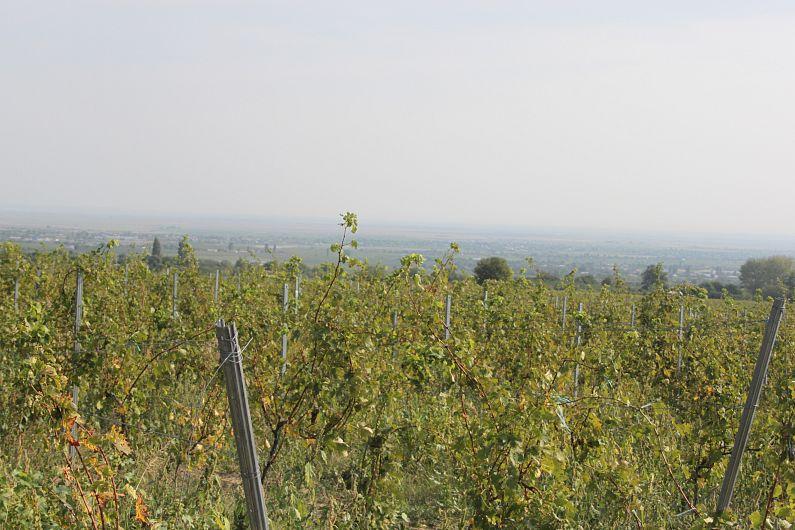 Foto Strugurii din Vrancea sunt aproape gata de recoltare