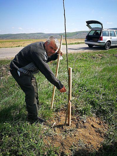 Foto: Puieții de nuc au fost plantați pe marginea drumului comunal