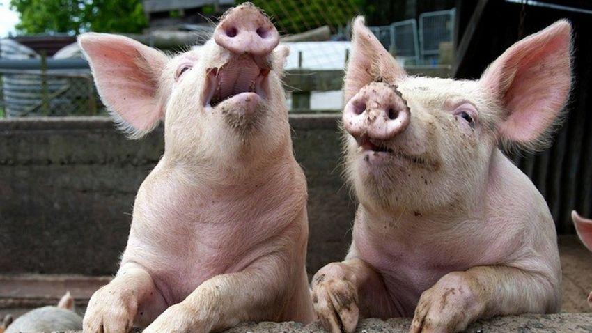 Astăzi a fost confirmată prezența virusului Pestei Porcine Africane într-o exploatație cu un număr total de 7 de porci, situată în localitatea Golești, județul Vrancea. Sursă foto: economica.net