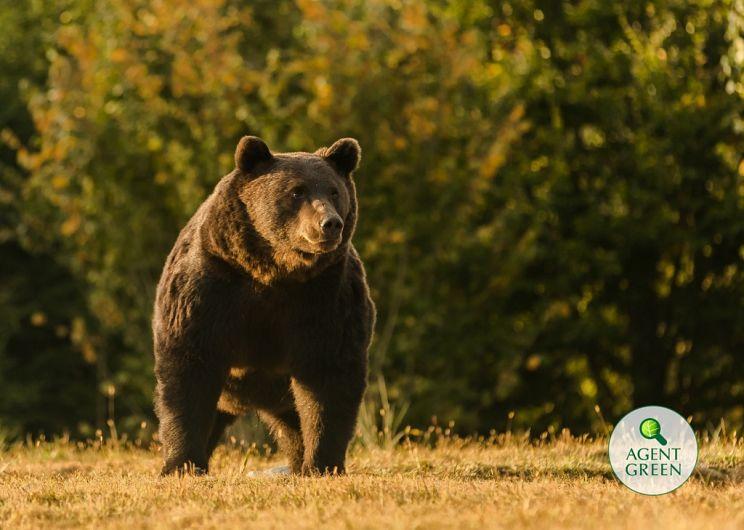 Ursul Arthur era cel mai mare mascul care exista în adâncul pădurii FOTO Agent Green