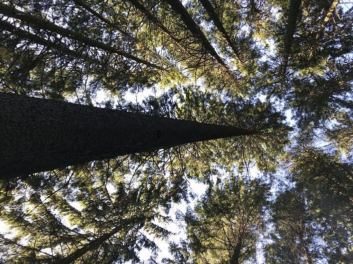 Foto:Vrancea neștiută-Munții Vrancei-pini întalți de 50 m